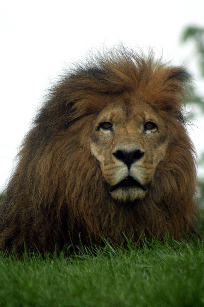 how to write a genus name of lion