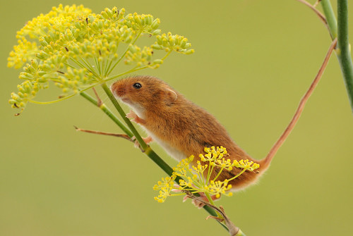 Harvest mouse [Explored] | by amylewis.lincs