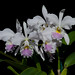 Cattleya labiata semi-alba 'Foleyana'