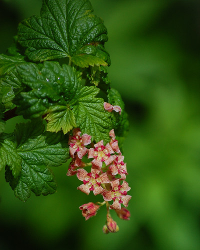 Ribes acerifolium, Maple-leaved Currant | by sheryl2010