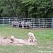 Donkeyland guard dogs 1