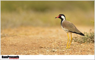 Red-wattled Lapwing | by FLASH MEDIA CREATIONS