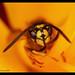 Wasp inside a tulipa