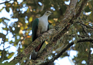 Grey-headed Imperial-Pigeon, Lore Lindu, Sulawesi | by Terathopius
