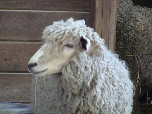 Cotswold Sheep #4 | by Maryland Zoo