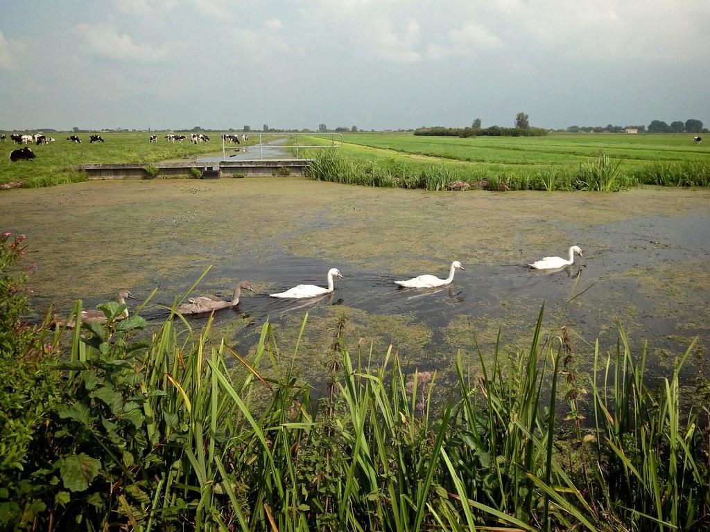 Zwanen en koeien in de polder   Jonge zwanen zwemmen op een ...: http://flickr.com/photos/dnet/6127286876