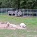 Donkeyland guard dogs 3
