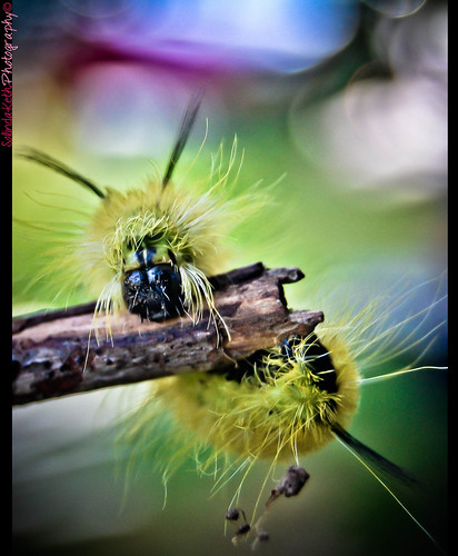 American Dagger Moth Caterpillar | by SolindaKeth