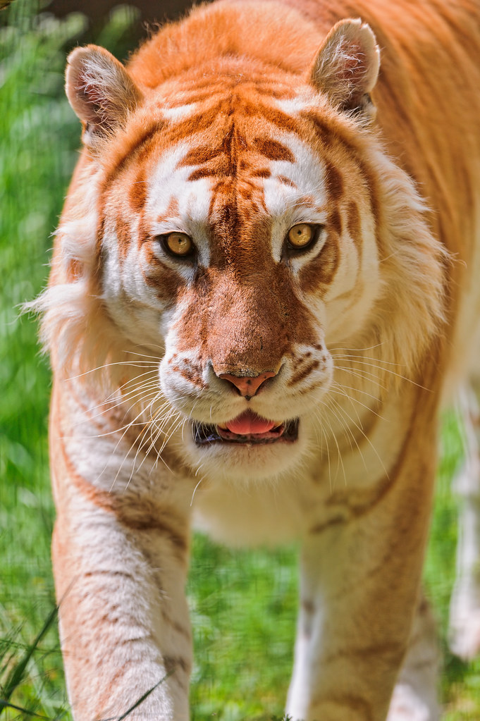 Walking Golden Tiger This The Nice Male Flickr