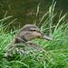 Duck in Grass