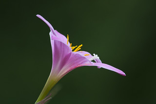 Lily | by Bruce Wunderlich