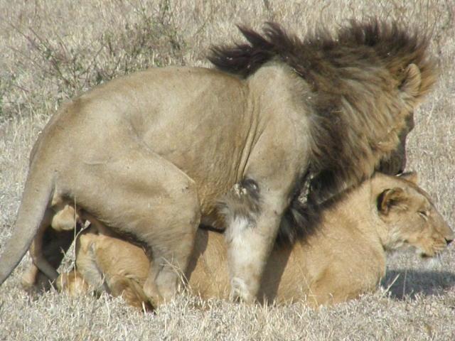 Lions mating apareamiento de leones debiant dv flickr - Leones apareamiento ...