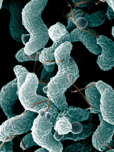 Campylobacter bacteria | by Microbe World