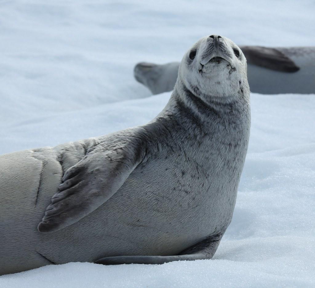 Crabeater Seal In Pl 233 Neau Bay Antarctica Liam Quinn