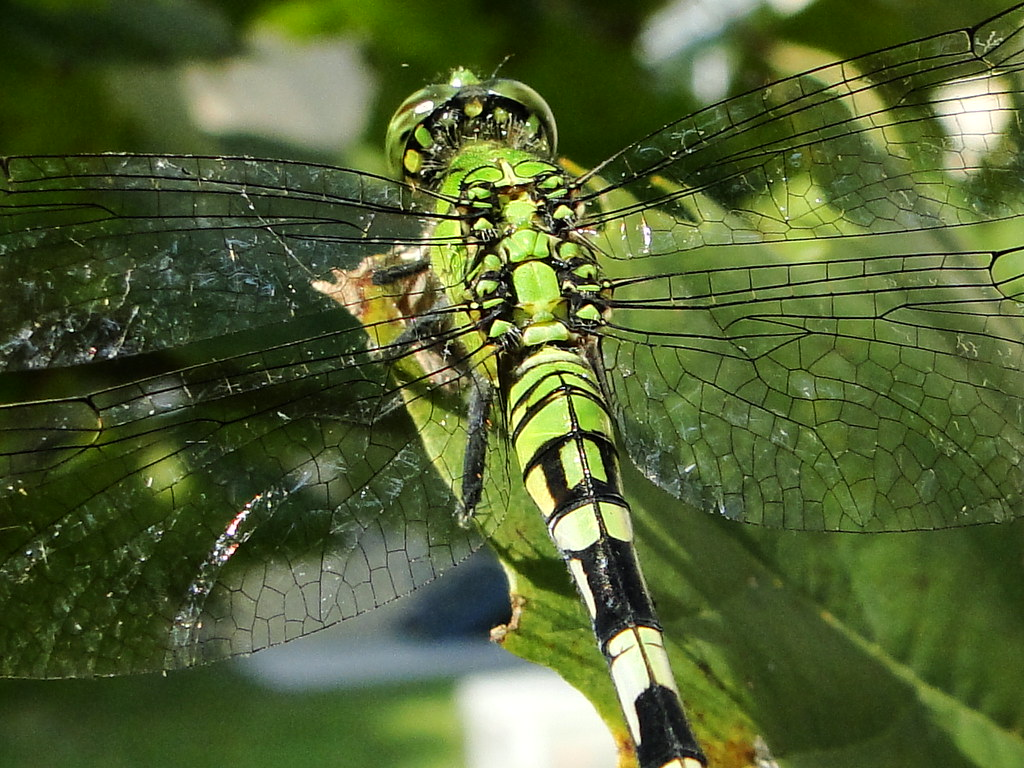 Green dragonfly pictures - photo#42