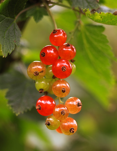 Ripening Redcurrant | by jensvins