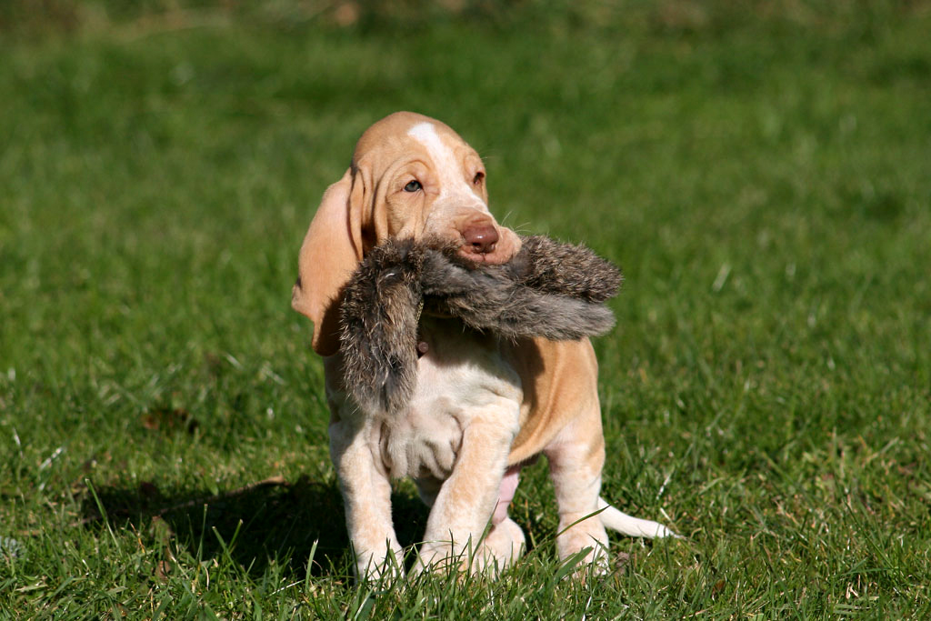 five bracco italiano dogs - photo #29