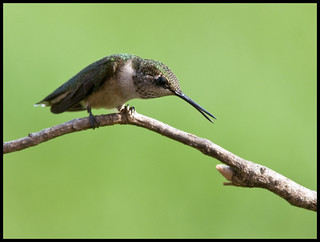 Juvenile male ruby-throated hummingbird 13 | by Jen St. Louis
