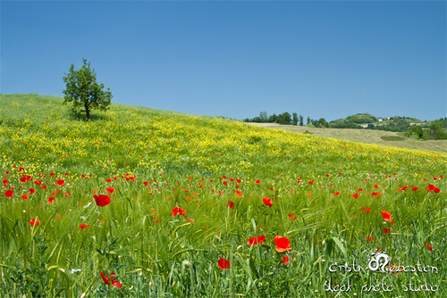 Beautiful Field with Poppy Flowers | by Cristi Sebastian Photography