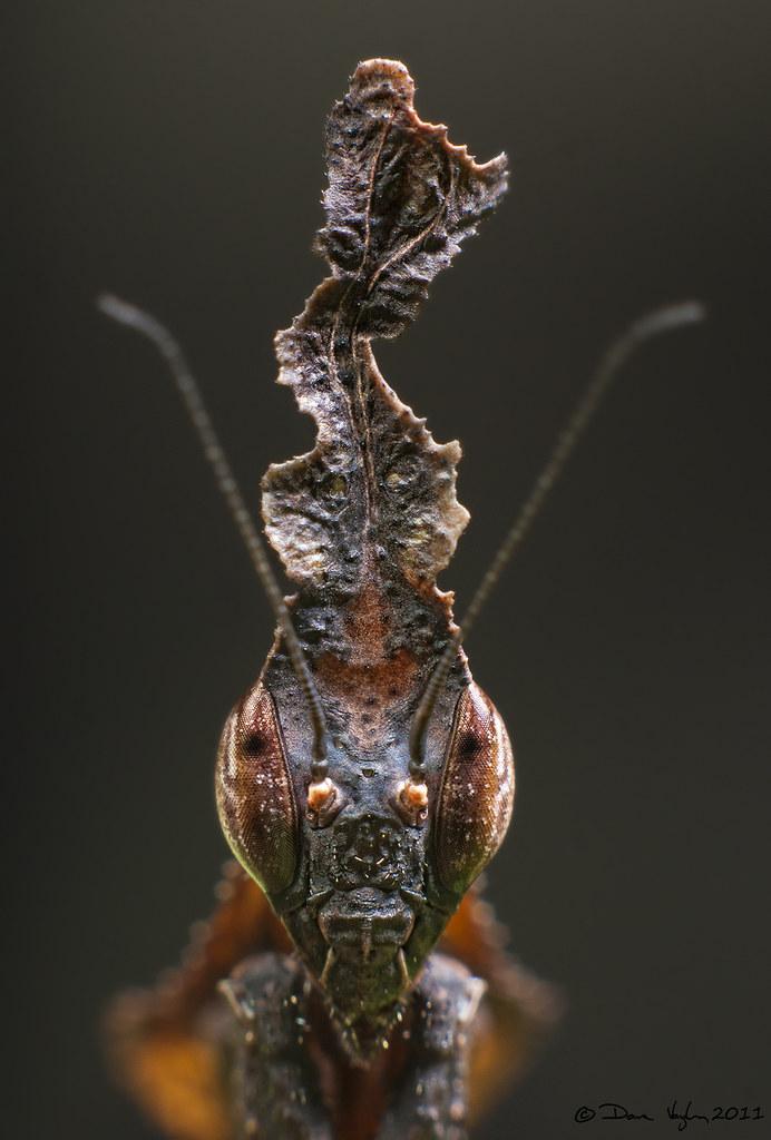 Ghost Mantis Phyllocrania Paradoxa Facebook Dv Photo Flickr