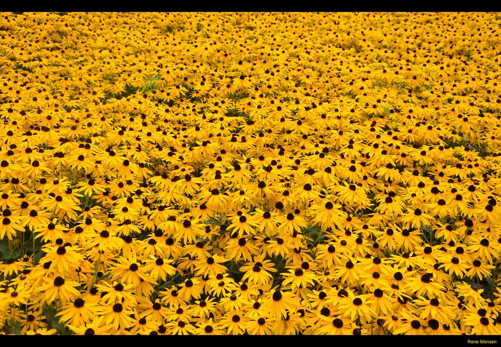 Field of yellow flowers alias 0591 flickr field of yellow flowers by rene mensen mightylinksfo