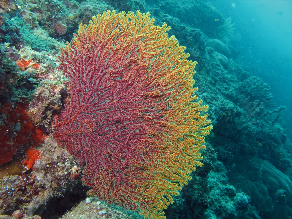 Sea Fan Acalycigorgia sp. Panglima Pulau Mabul Bernard DUPONT ...