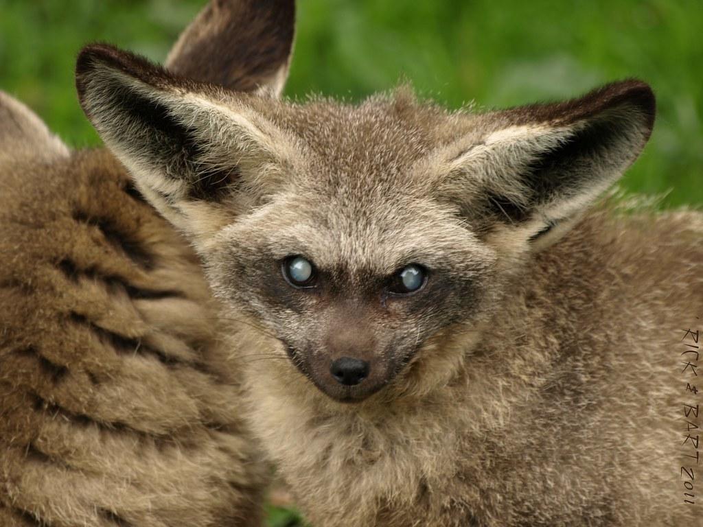 Bat-Eared Fox - ZooBorns