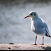 Kew gull