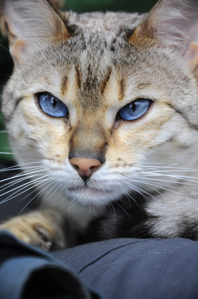 beautiful blue eyes cat a fabulous looking cat that i