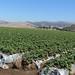 Strawberry Field in Salinas Valley