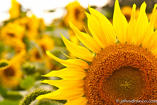 Sunflower_Section | by Fine Photographic Images by John Franco