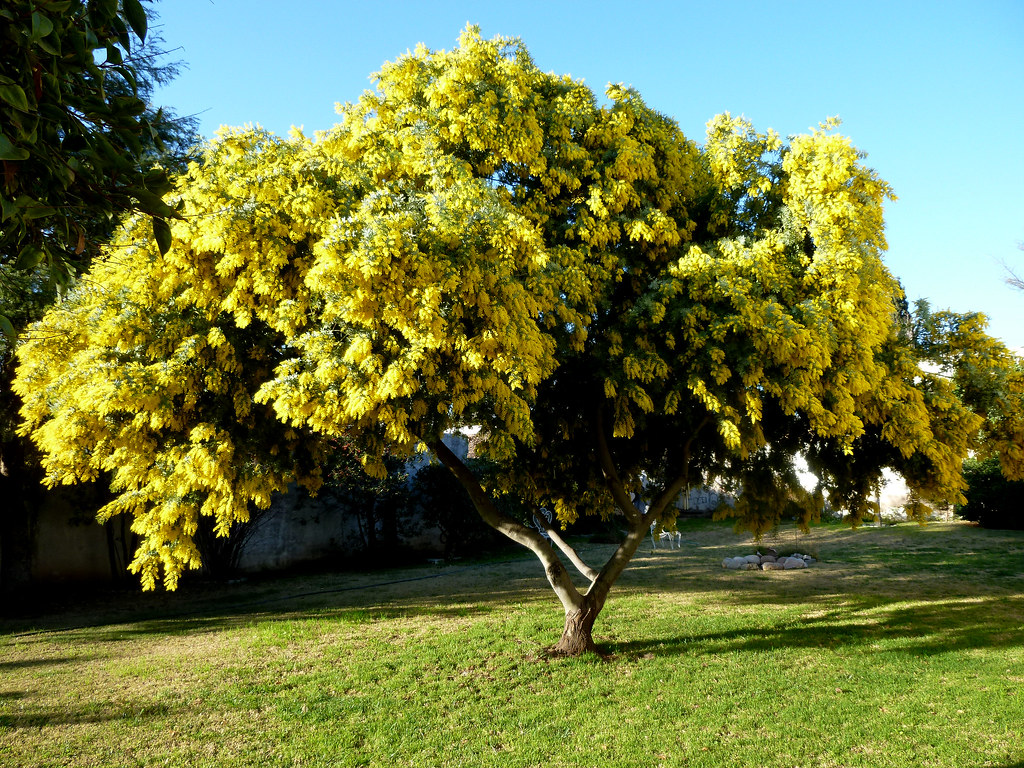 El aromo precioso ejemplar que engalana el parque de uno for Arboles que dan sombra para jardin