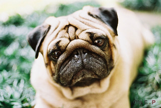 Pug! | by mle.photography