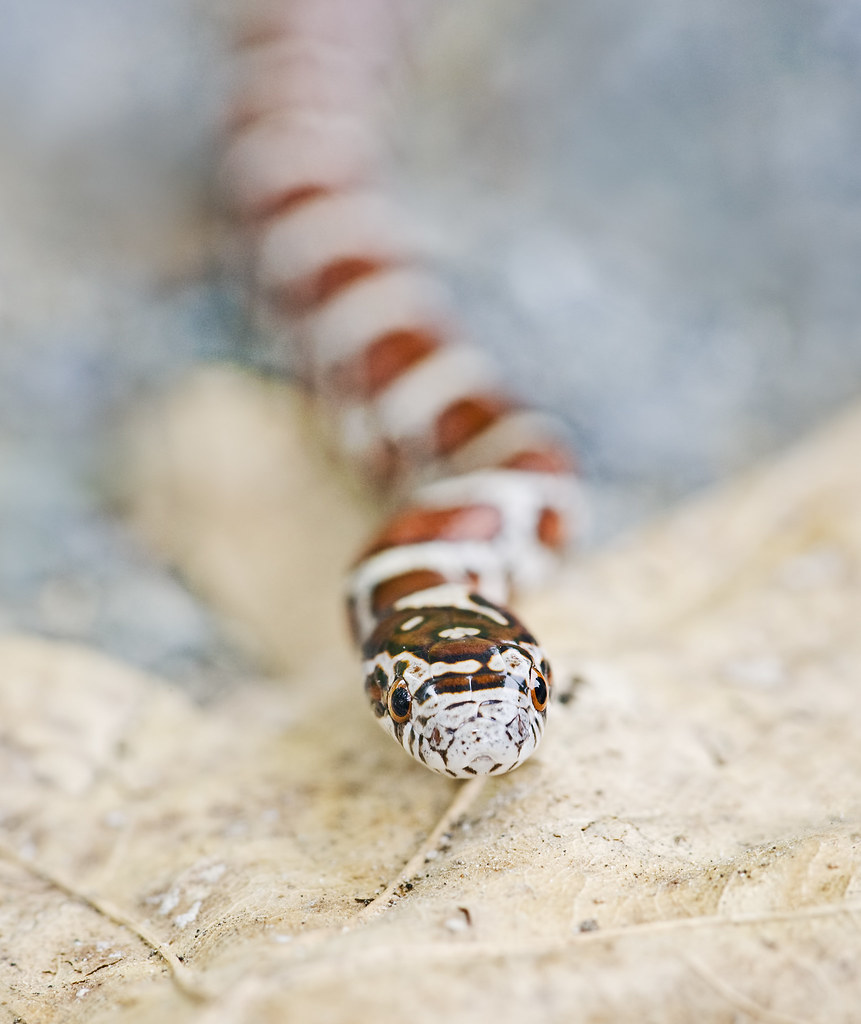 Juvenile Eastern Milk Snake | © Jim Gilbert 2011 all ...