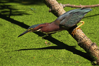 Green Heron Ready to Strike | by Bill McMullen