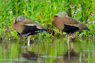 Black-Bellied Whistling Ducks | by Brian E Kushner