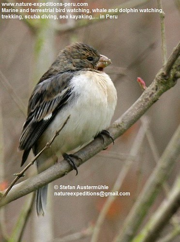 Drab seedeater Birding Peru (1) | by Nature Expeditions 02