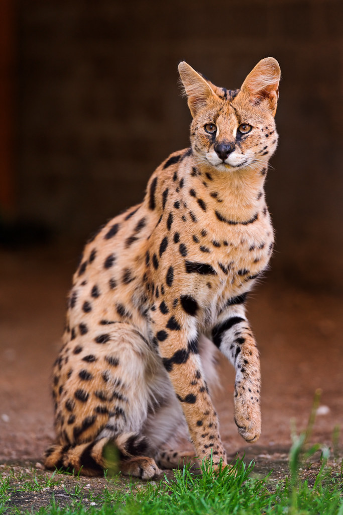 Proud Standing Serval I M Pretty Happy With This Picture
