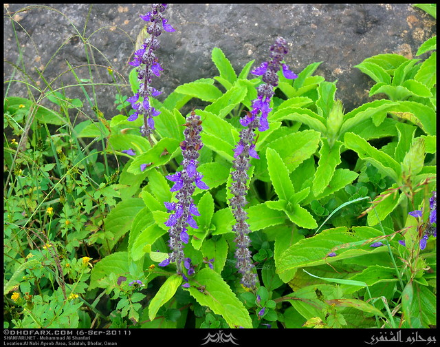 Indian coleus plectranthus barbatus flowers in al nabi ayoob area