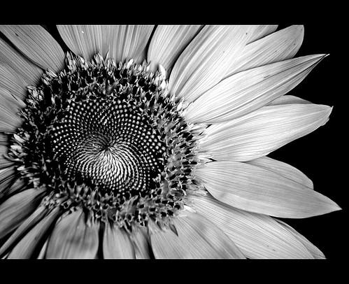Sunflower | by gilxxl