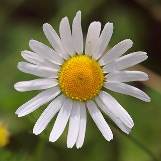 A typical Daisy flower (Oxeye Daisy). | by Bienenwabe