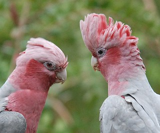 Pink and Grey Galahs | by john.dart