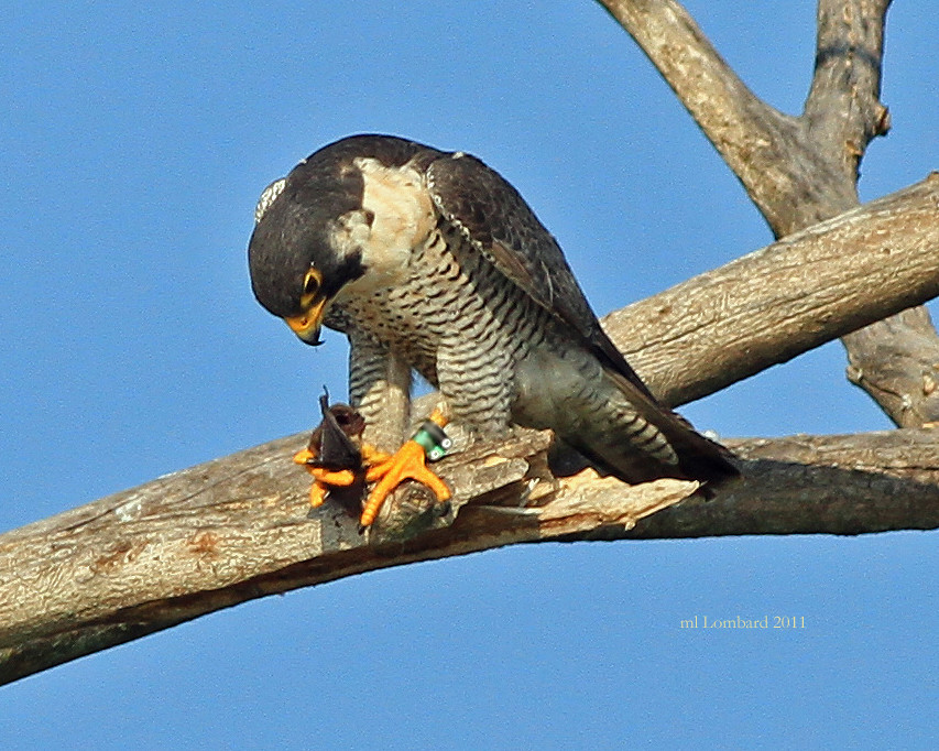 Peregrine Falcon Talons Peregrine Falcon With Brown