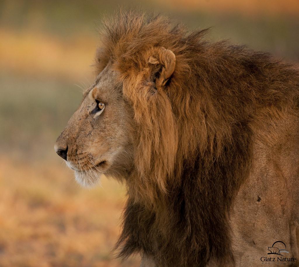 Huge Male Lion in Prof... Lion Roaring Drawing