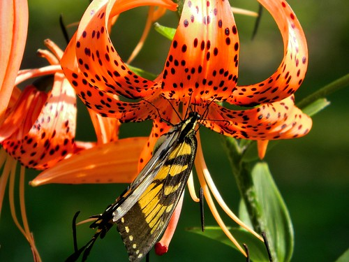 butterfly, tiger lily | by pfarrell95