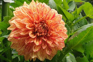 Dahlia | by Diane G. Zooms---Mostly Off
