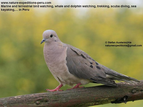 Eared dove Birding Peru (4) | by Nature Expeditions 02