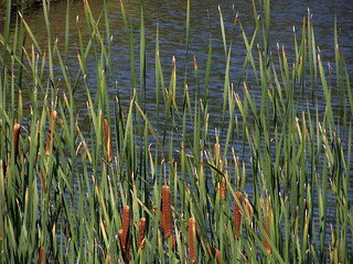 Cattails | by andyarthur
