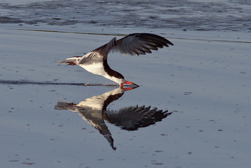 Black Skimmer | by Dah Professor