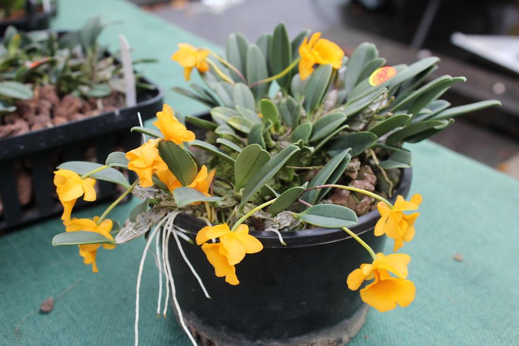 Dendrobium jenkinsii | A tree-dwelling native of ...
